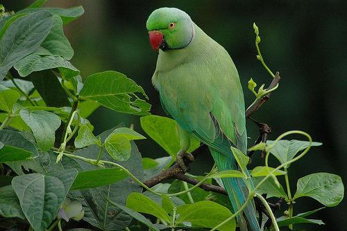 Фото Ожереловый попугай