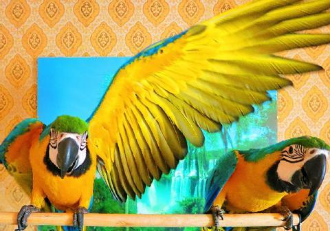 Сине-желтый ара, Сине жёлтый ара (ara ararauna) - ручные птенцы из питомников Европы